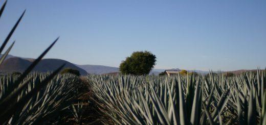 michoacan agave field
