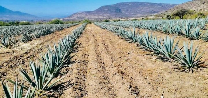 what the hell is mezcal?